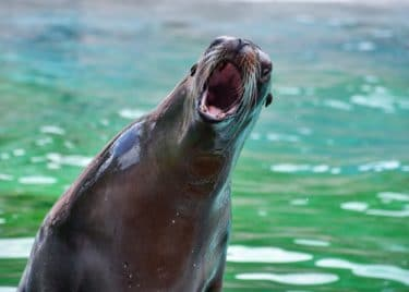 A sealion in front of greenish blue water with its mouth wide open