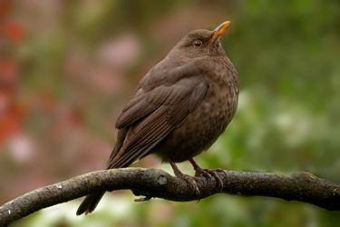 A blackbird with a speckled chest and a yellow/orange beak standing on a branch