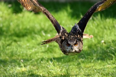 An owl flying across some grass with a large wingspan and eyes looking forwards.
