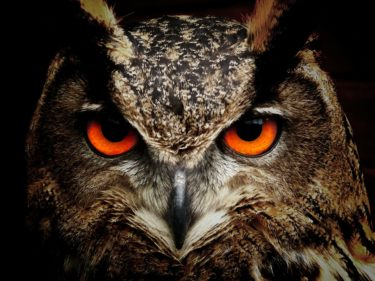 An eagle owl looking directly into the camera with orange eyes and tufted ears