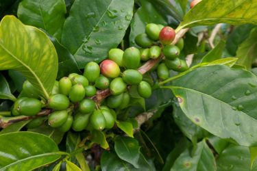 A coffee plant laden with green coffee beans